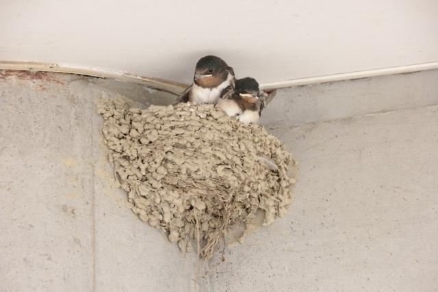 ツバメ が 巣 を 作る 家